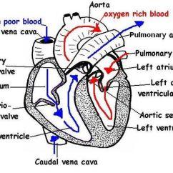 Shark Internal Organs Diagram 12 S Wiring Physiology, Kid And Kids Worksheets On Pinterest