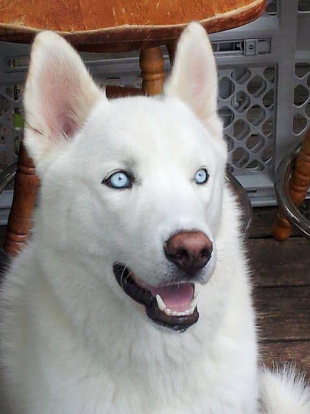 White Alaskan Malamute PUPS Pinterest Beautiful