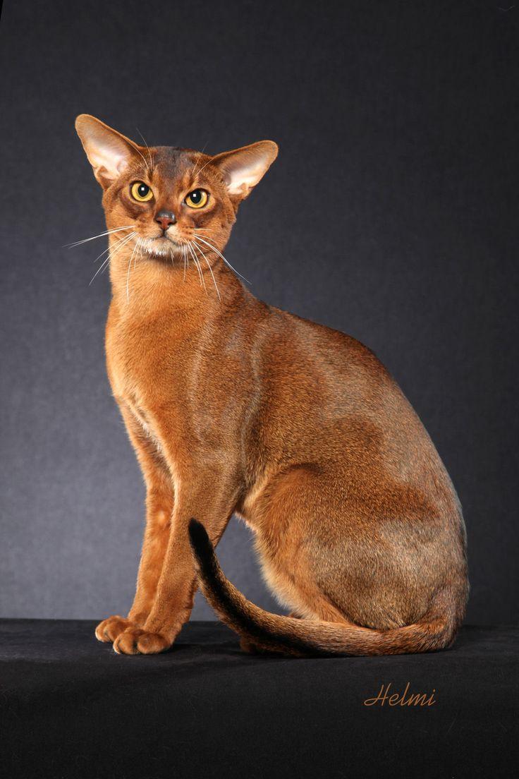 Cute Orange Kittens Wallpaper Best 25 Abyssinian Cat Ideas On Pinterest Abyssinian