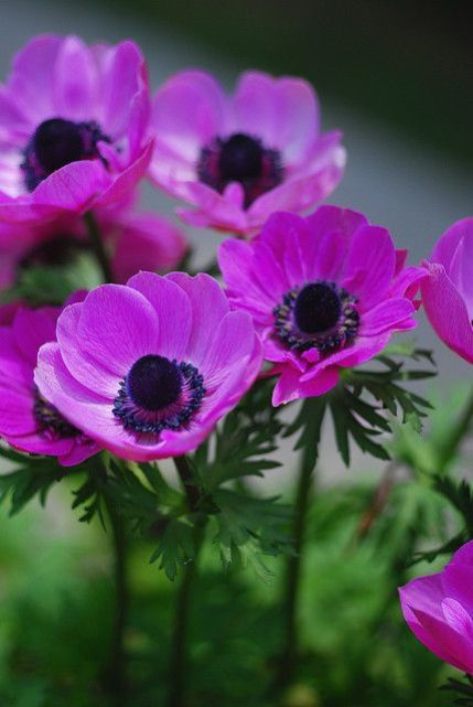 Purple Anemone Flowers ✿⊱╮: