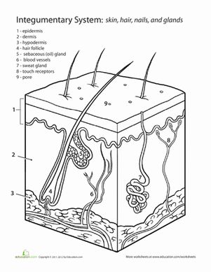 17 Best ideas about Human Integumentary System on