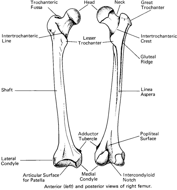 blank humerus diagram 1995 acura integra speaker wiring bony landmarks of the femur - basic | human anatomy pinterest o'jays