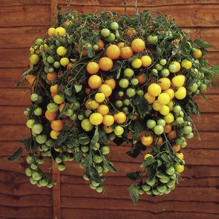 The Tumbling Toms - ornamental edibles. These cascading beauties are perfect for hanging baskets, window boxes or patio containers. You can put 3 plants per 10 inch container and will have a delightful show and provide loads of tasty summer fruit.