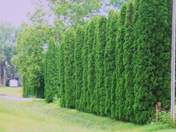 privacy trees - arborvitae providing
