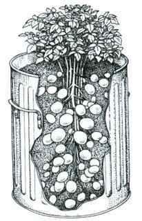 Planting potatoes in a plastic garbage can or defunct rain barrel – great repurposing!