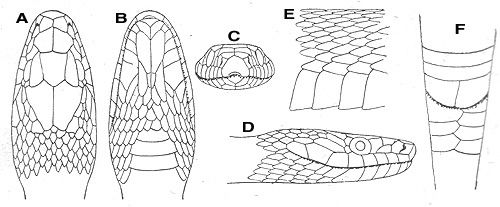 Corn snake, Snakes and Patterns on Pinterest