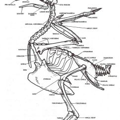 Ostrich Skeleton Diagram Trailer Wiring 6 Labeled Pigeon | Pigeons Pinterest Pigeon, Skeletons And Human Body