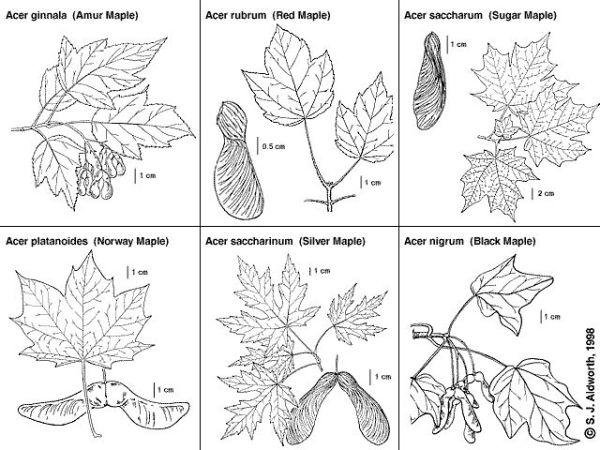 25 best ideas about Maple Tree Seeds on Pinterest Tree