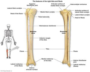 tibia and fibula diagram  Google Search | anatomy 1