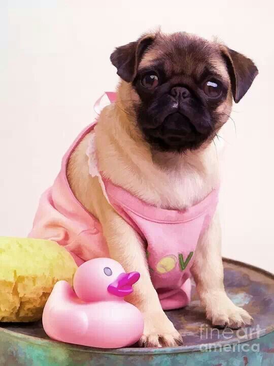 Senti Wallpapers With Quotes 17 Images About Mopshond On Pinterest Pug Love Sleep