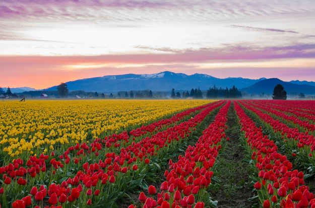 Skagit Valley Tulip Fields,