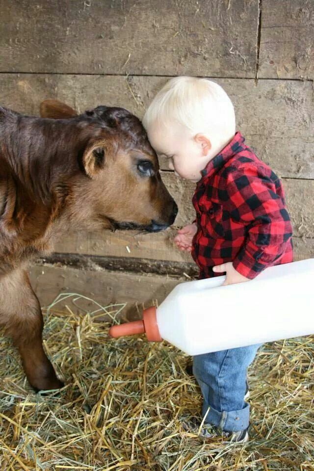 """Little Boy says to """"Carl"""" The Calf:  """"Now listen to me young 'Carl' I'm The Boss of you, and I'm telling you to  drink this milk"""