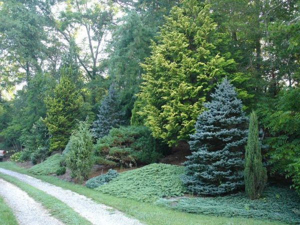 mixed evergreen tree screen conifers