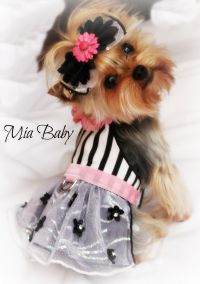 Pink Yorkie, Mia, Bark! What's in your closet. dog ...