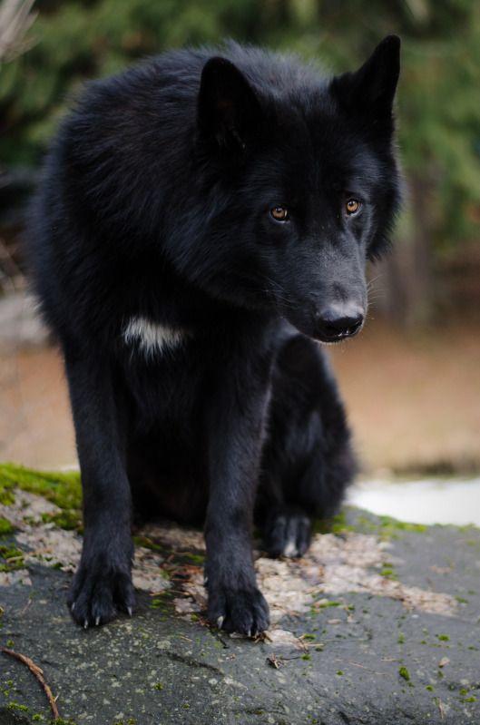 Alaskan Noble Companion Dog Animals Pinterest