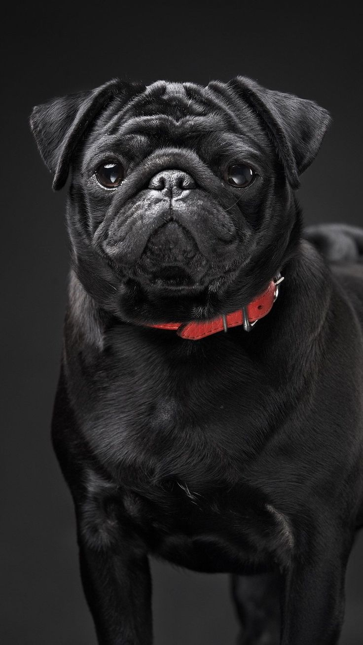 Cute Pug Wallpapers For Iphone 25 Best Black Pug Ideas On Pinterest