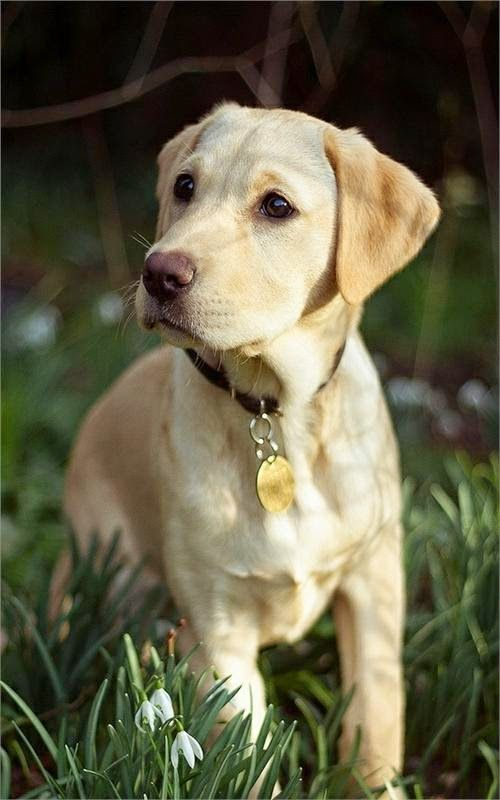 1000 images about Yellow and Fox Red Labradors on
