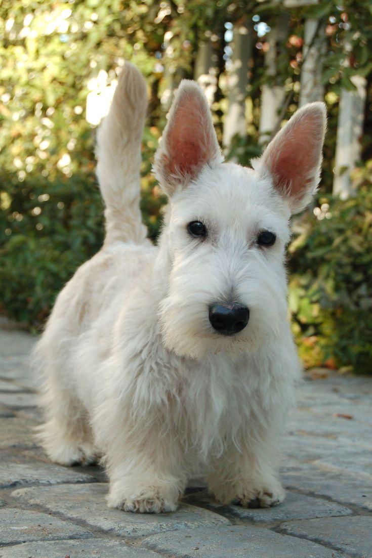 212 Best Images About Scottie Dogs On Pinterest Scottish