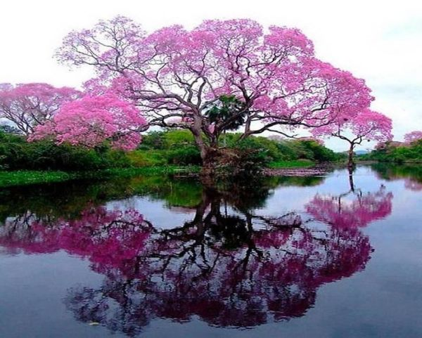 The Lapacho Treethe national tree of Paraguay The