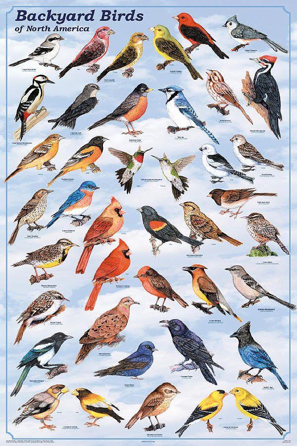 25+ best ideas about Bird identification on Pinterest
