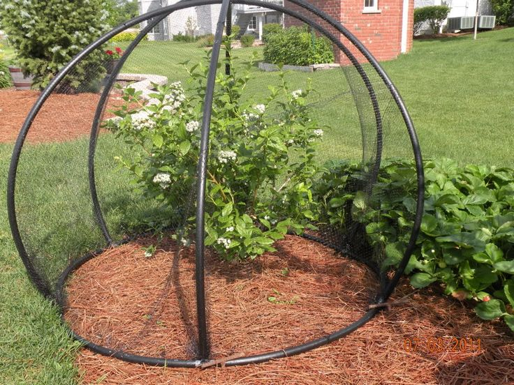 Diy blueberry cage made with 12 pvc tubing and 6 t