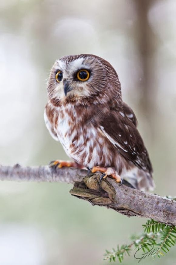 1000+ Images About Awesome Owls On Pinterest  Black Barn