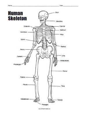 Free Printable Human Skeleton Worksheet | All Free