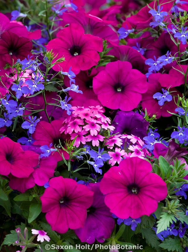 25 Best Ideas About Petunias On Pinterest Insect Repellent