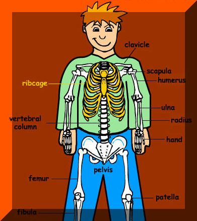 names of bones in human skeleton diagram 1995 yamaha g14 wiring learn the your | skeletal system pinterest o'jays, and bone jewelry