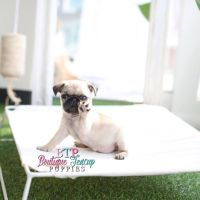 17 Best ideas about Baby Pugs on Pinterest | Cute baby ...