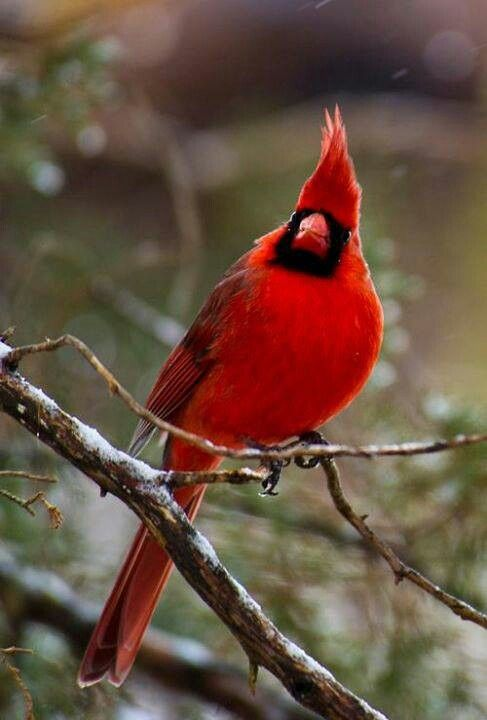 Beautiful Red Robin My Good Luck Charm Gorgeous