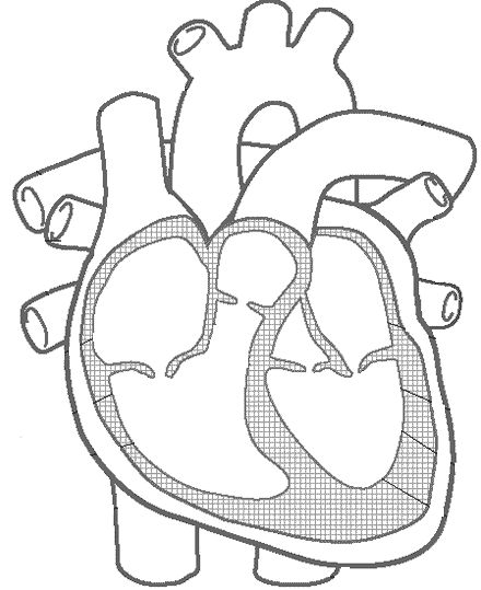 Best 25+ Heart Diagram ideas that you will like on