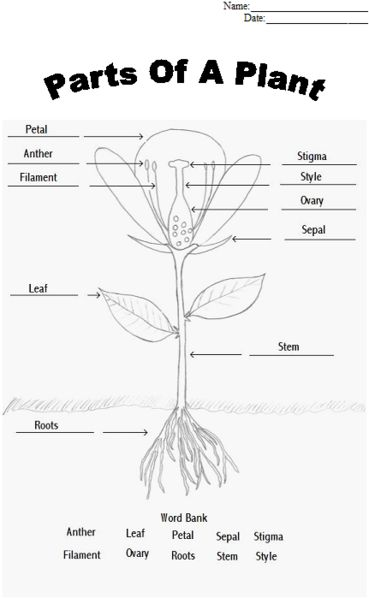 Parts of a plant worksheet. Find a flower to dissect and