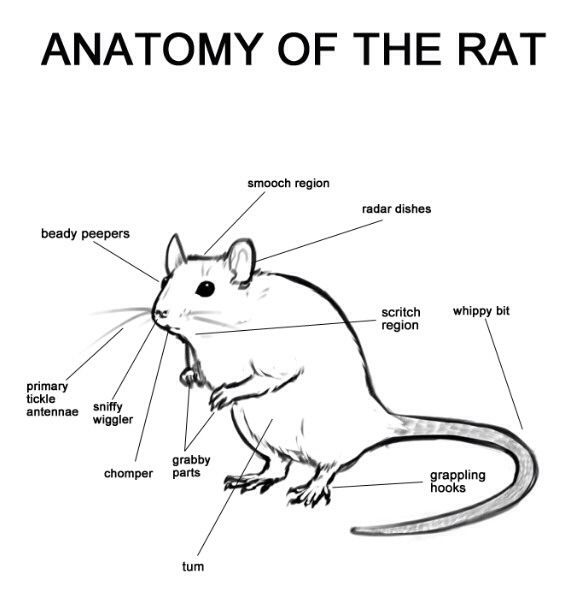 17+ best images about Rat-tastic!: Reveling in rats on