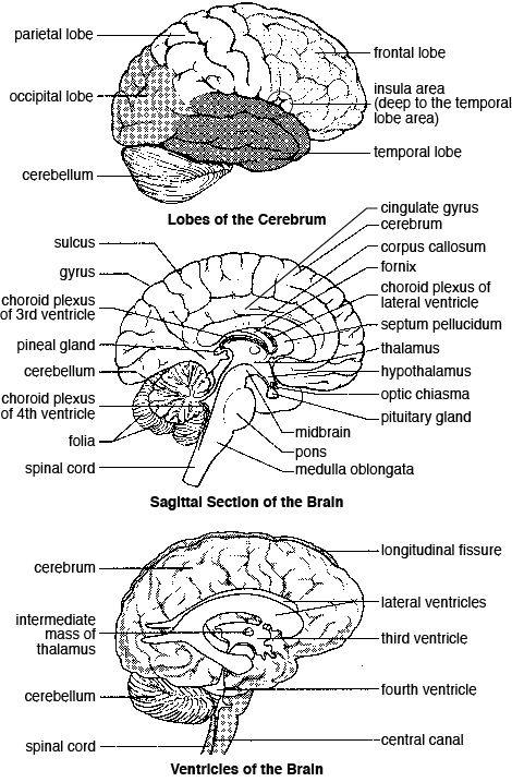 190 best images about Neuroanatomy/neurology study on
