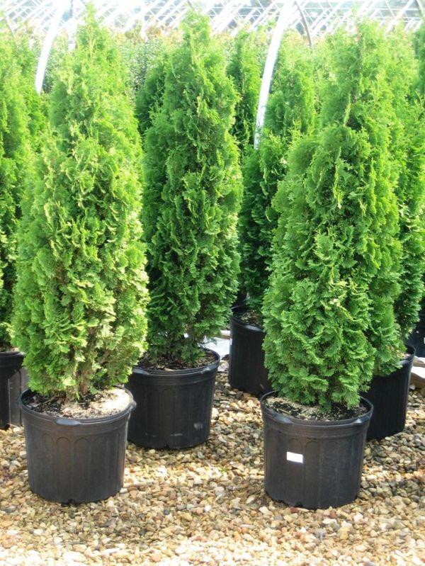 Thuja occidentalis Eastern Arborvitae Tree Evergreen