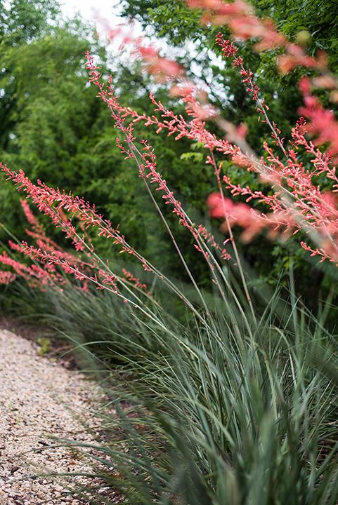 17 Best Ideas About Yucca Plant On Pinterest Yucca Tree Red