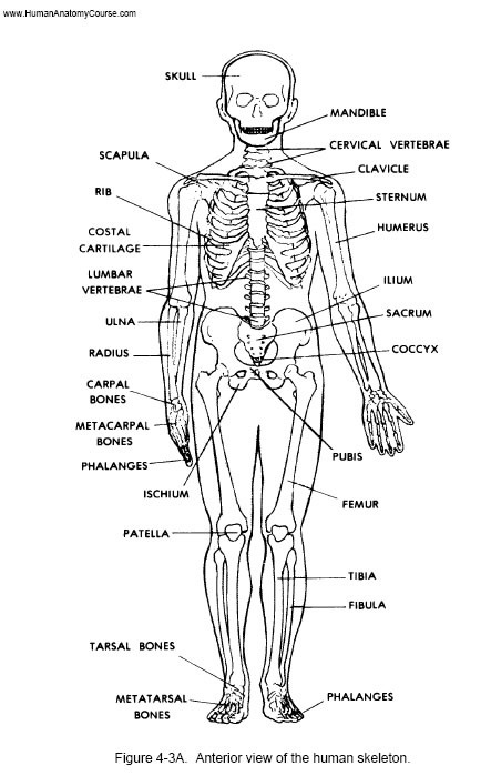 93 best bones in the body images on Pinterest