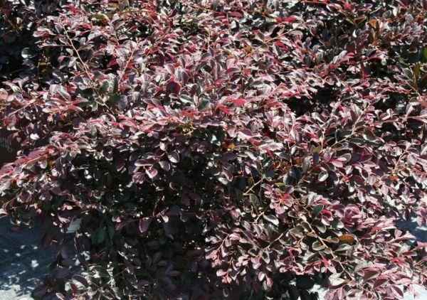purple diamond loropetalum shrub