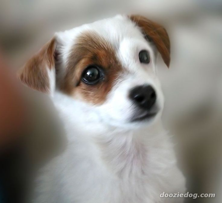 25 Best Ideas About Jack Russell Puppies On Pinterest