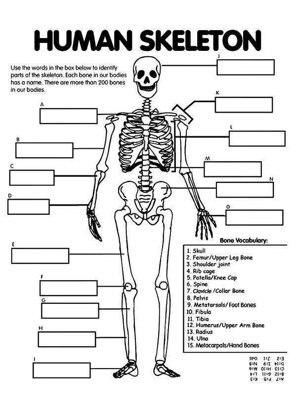 Rib Cage Labeling Worksheet Answers : labeling, worksheet, answers, Forensic, Bones, Worksheet, Answers, Project