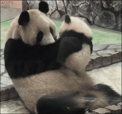 10Pandas That Will Make Your Day – The Odyssey Online