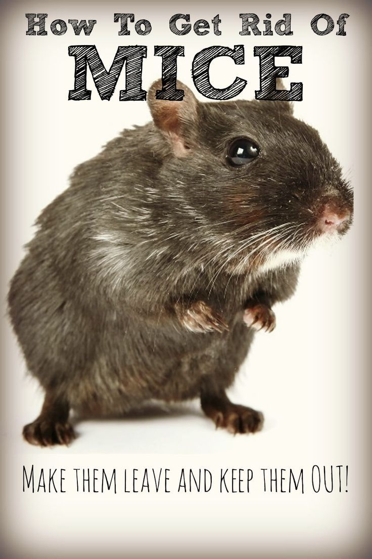 Get rid of mice naturally no cat required kid the o
