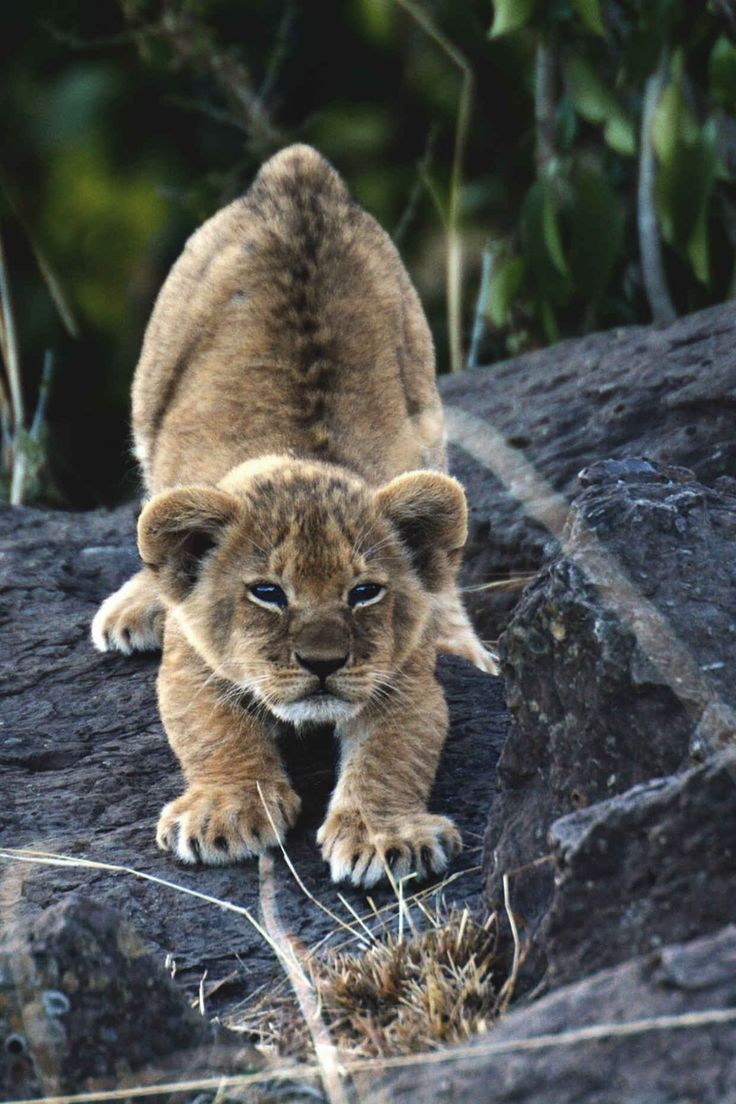 lion cub on pinterest adorable baby animals cute bears and baby