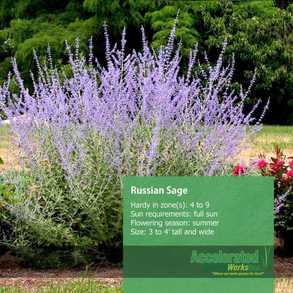 Russian Sage Salvia Rusa My Yard Pinterest Gardens