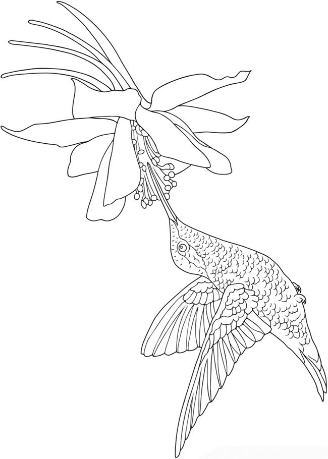 hummingbird coloring page; Welcome to Dover Publications