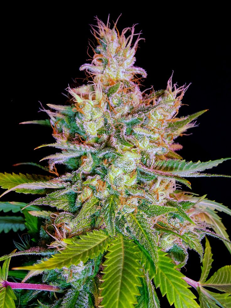334 best images about Growing Marijuana at Home on Pinterest