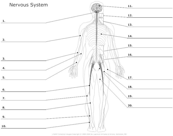 muscular system worksheets