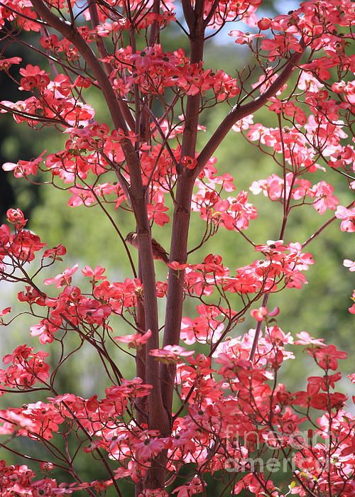 25 best ideas about Dogwood trees on Pinterest  Spring