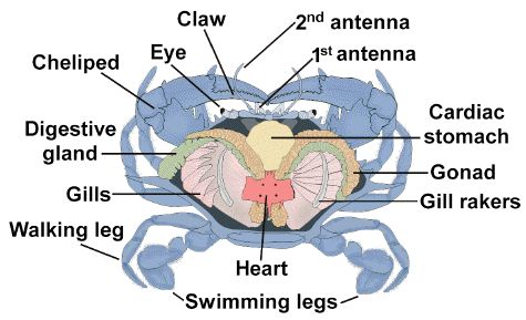 crab anatomy diagram 2006 cobalt wiring blue internal | chillin' as a pinterest crabs, search and